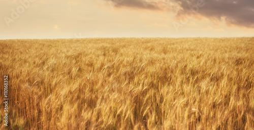Wheat Farm on Sunset Poster
