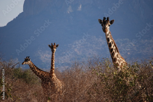 Fototapety, obrazy: Giraffen