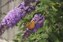 American Lady Butterfly On A Buddleja Bush