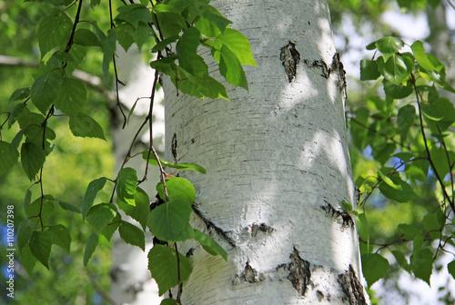 Naklejka premium Pnia brzozy w przyrodzie