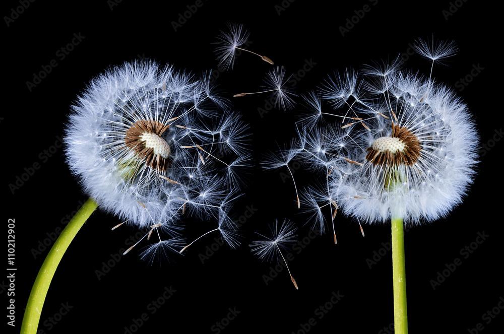 Fototapety, obrazy: Silhouettes of Dandelions
