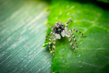 Super Macro Close Up Jumping Spider On Green Leaf