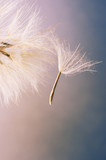 Close-up of dandelions seed - 110258743