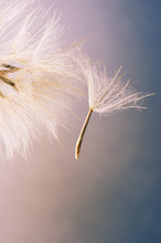 Close-up Of Dandelions Seed