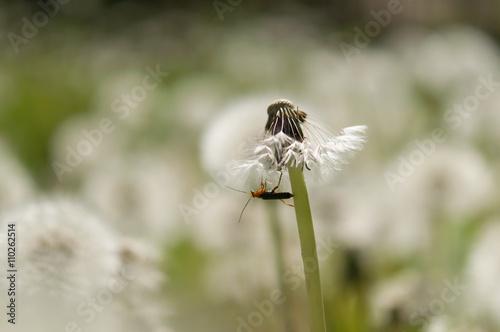 Fotobehang Macrofotografie flower dandelion in park