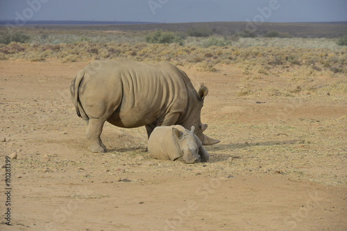 Poster Afrique White Rhinoceros on the plain's of South Africa