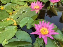 Water Lily In Pond Temple