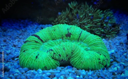 Poster Sous-marin Green open brain coral