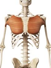 Human Chest Muscles, Illustrat...