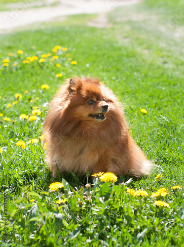 Fototapeta nice red Pomeranian spitz dog on the green grass obraz na płótnie
