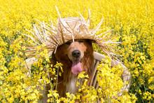 Hund Mit Strohhut Sitzt Auf Einer Bank Im Rapsfeld Im Frühling