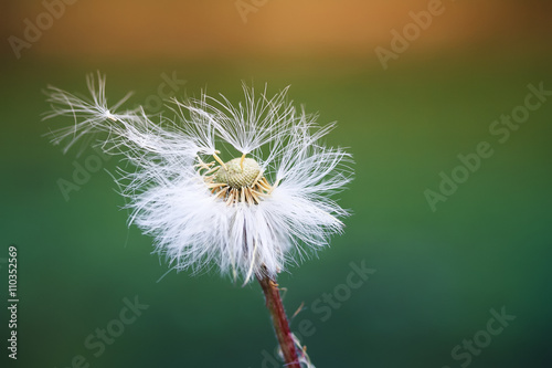 Montage in der Fensternische Lowenzahn white fluffy dandelion scatters seeds parachutes