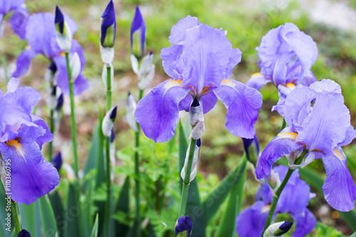 Spoed Foto op Canvas Iris iris flowers garden
