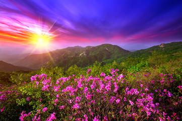 Fototapeta Beautiful pink flowers on mountains at sunset, Hwangmaesan mountain in South Korea.