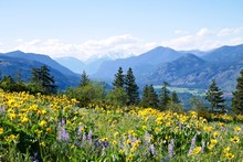 Alpine Meadows Filled With Yel...