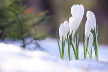 Snowdrops The First Spring Wil...