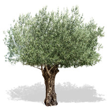 Olive Tree  On A White Backgro...