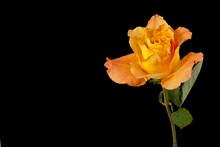 Close-up Of A Orange Rose.
