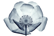 X-ray Image Of A Flower Isolat...