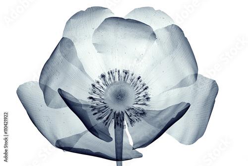 x-ray obraz kwiatu na białym, mak Papaver