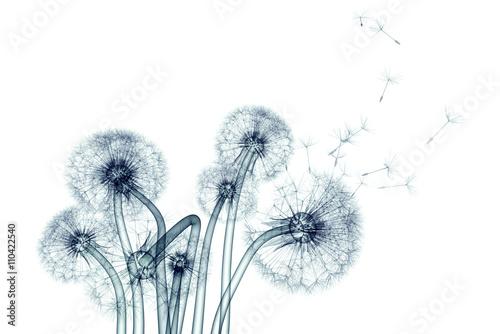 zdjęcie rentgenowskie kwiat na białym tle, dandelio Taraxacum