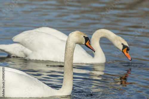 Poster Cygne White swans swimming in the river.