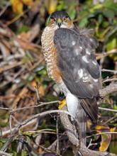 Sharp-shinned Hawk Staring At Camera