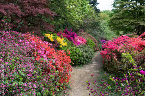 Foto op Canvas Azalea Azaleas in Full Bloom