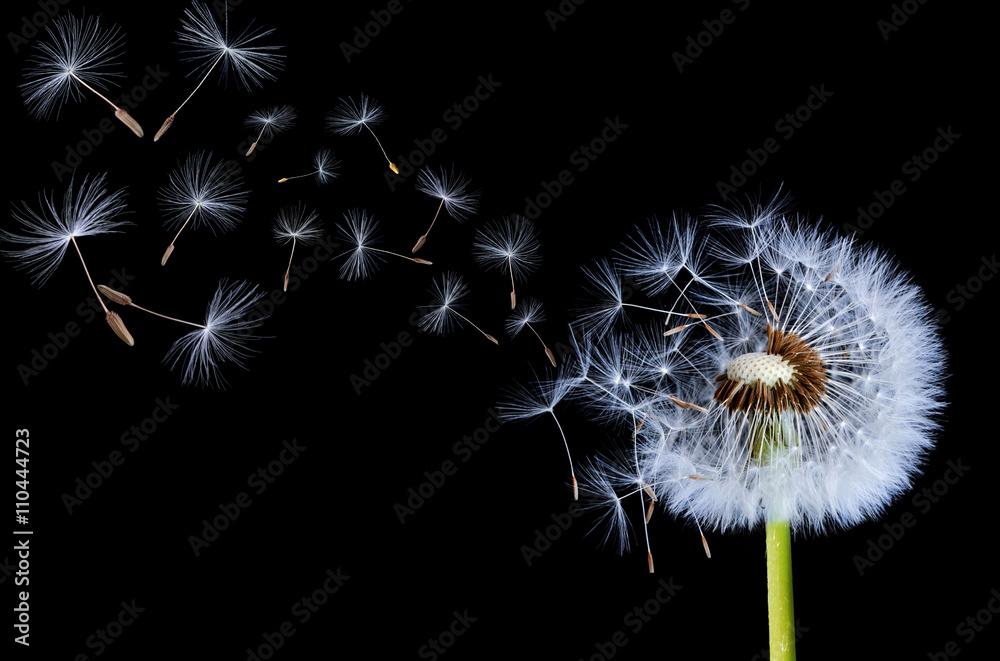 Fototapety, obrazy: Dandelions floating