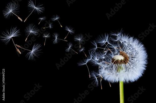 Dandelions floating - 110444723