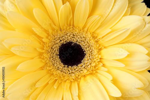 macro shot of yellow daisy Canvas Print