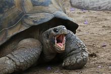 Gal‡pagos Tortoise Or Gal‡pagos Giant Tortoise (Chelonoidis Nigra)