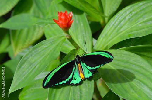 Cairns Birdwing butterfly above view Wallpaper Mural