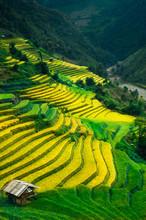 Rice Fields Prepare The Harvest At Northwest Vietnam.