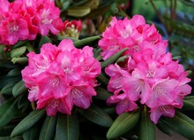 Purple Flowers Of Rhododendron Bush At Spring