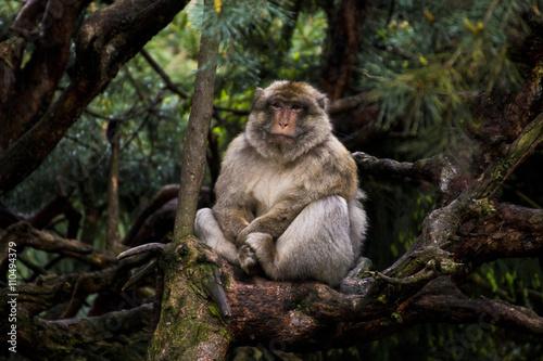 Foto op Canvas Aap Affe auf Baum