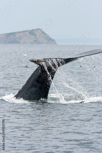 Humpback Whale fluking in the Gulf of St. Lawrence off the coast of Percé.