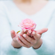 Closeup Woman Hands With White Manicure Holding Delicate Pink Rose Flower, Selective Focus