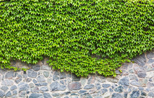 Green Ivy On Brick Wall