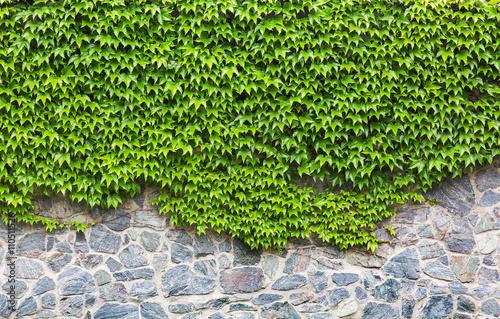 zielony-bluszcz-na-mur