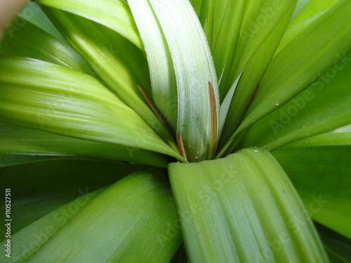 Tela Folha de abacaxizeiro