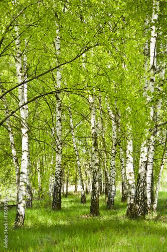 Brzozowy zagajnik wczesną wiosną w pogodny dzień. Młode brzozy z młodymi zielonymi liśćmi w świetle słońca. - 110550393