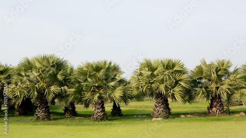 Fotografija Palm tree