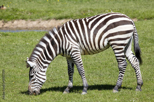 In de dag Zebra Grant's zebra, Equus quagga Boehme has distinctive stripes