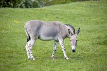 Equus Africanus Somaliensis,  ...