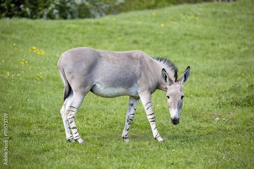 Equus africanus somaliensis,  Somali wild ass Canvas Print