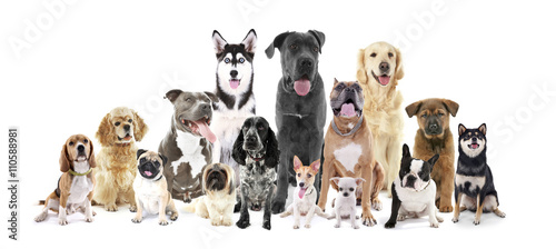 Fotografija  Group of different breed dogs sitting in front, isolated on white