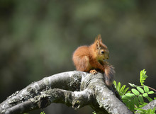 Squirrel Baby Sitting On Tree And Looking Her Own Tail