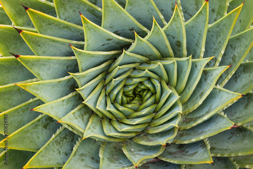 closeup of spiral aloe cacti