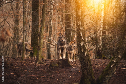Canvas Print A pack of wolves in the forest.